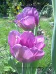 flori de primavara (7)