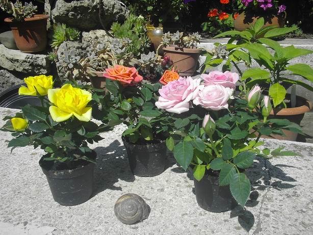 trandafiri miniatura