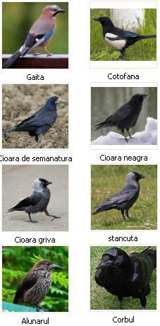 corvide