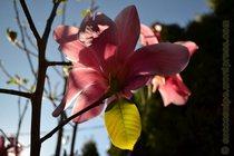 Magnolia Vulcan mini